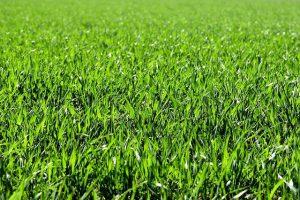 דשא סינטטי או דשא טבעי